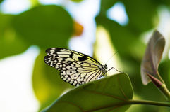 Monarch Butterfly. Beautiful closeup of a black and white butterfly resting on a large tropical leaf royalty free stock images