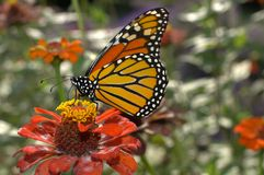 Monarch butterfly. Beautiful monarch butterfly drifting from flower to flower to sip some nectar stock photo