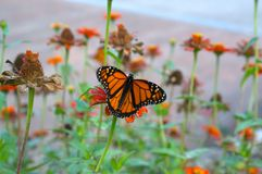 Monarch butterfly. Beautiful monarch butterfly drifting from flower to flower to sip some nectar stock images