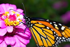 Monarch butterfly. Beautiful monarch butterfly drifting from flower to flower to sip some nectar stock photography
