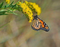 Monarch butterfly. A beautiful Monarch butterfly is eating nectar from flowers royalty free stock photo