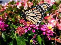 Monarch Butterfly On Beautiful Floral Background. A very colorful Monarch Butterfly pollinating a flower in a garden with a variety of floral plants stock image