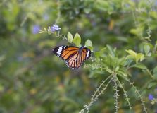 Monarch Butterfly. Beautiful Monarch Butterfly on fresh plant royalty free stock photo