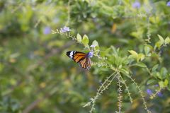 Monarch Butterfly. Beautiful Monarch Butterfly on fresh plant stock image