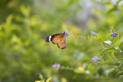 Monarch Butterfly. Beautiful Monarch Butterfly on fresh plant royalty free stock photos