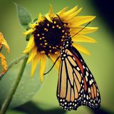 Monarch Butterfly in a beautiful garden. Monarch Butterfly on Sunflower. Nature photography. Butterflies. Papillon. Mariposas. Garden spaces. Wild things.Winged royalty free stock photography