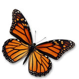 Monarch Butterfly. Beautiful monarch butterfly isolated on white background Royalty Free Stock Photo