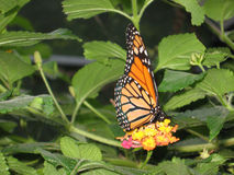 Monarch butterfly. Beautiful orange coloured butterly sitting on the flower Stock Images