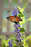 Monarch Butterfly. A beautiful monarch butterfly perched on a purple plant royalty free stock images