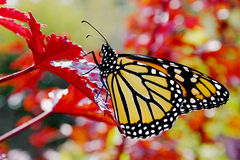 Monarch Butterfly. A beautiful monarch butterfly on a red leaf and colorful background royalty free stock images