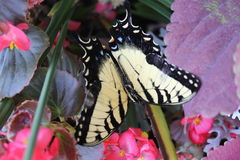 Monarch Butterfly. A Beautiful Monarch Yellow Butterfly royalty free stock photos
