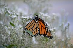 Monarch butterfly beauty 2018 4. Monarch butterfly in a green and tan field of flowers and weeds stock photography
