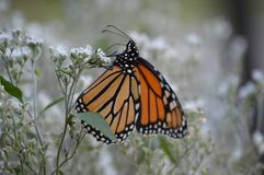 Monarch butterfly beauty 2018 6. Monarch butterfly in a green and tan field of flowers and weeds stock photo