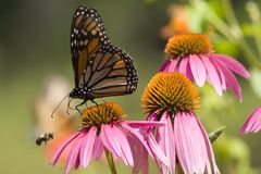 Monarch Butterfly and Bee. Monarch Butterfly and Bumble Bee on Cone Flowers stock photography