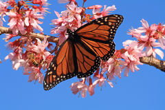 Monarch Butterfly and bee on blossom. Monarch butterfly and bee sitting on cherry blossom tree, in Spring Royalty Free Stock Image