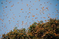 Monarch Butterfly Biosphere Reserve, Mexico. Monarch Butterfly Biosphere Reserve, Michoacan (Mexico Stock Image