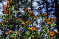 Monarch Butterfly Biosphere Reserve, Mexico. Monarch Butterfly Biosphere Reserve in Michoacan, Mexico stock photography
