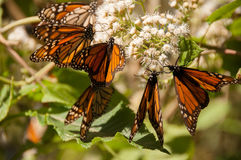 Monarch Butterfly Biosphere Reserve, Mexico. Monarch Butterfly Biosphere Reserve, Michoacan, Mexico stock images