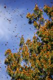 Monarch Butterfly Biosphere Reserve, Mexico royalty free stock photography