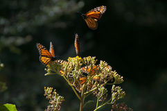 Monarch Butterfly Biosphere Reserve, Michoacan (Mexico) stock images