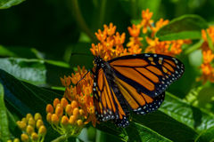 Monarch Butterfly. On a blooming butterfly weed flower royalty free stock photo