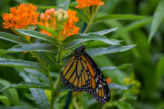 Monarch Butterfly. On a blooming butterfly weed flower stock images