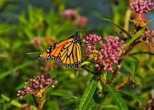Monarch butterfly on blossoms blooming along the Chicago riverwalk downtown. Monarch butterfly on blossoms blooming along the Chicago riverwalk downtown in stock image