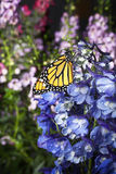 Monarch Butterfly on Blue Delphinium Flowers stock photography