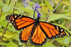 Monarch Butterfly on Blue Salvia. Close-up of a beautiful Monarch butterfly, with wings spread open, sipping nectar from a blue salvia flower, on a green stock photo