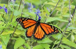 Monarch Butterfly and Blue Salvia Flowers. A beautiful monarch butterfly, with wings spread open, is sipping nectar from a blue salvia flower, on a background of royalty free stock photo