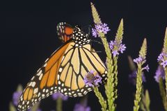 Monarch butterfly on blue vervain flowers in New Hampshire. Adult monarch butterfly, Danaus plexippus, order Lepidoptera, gathering nectar with its proboscis stock photography