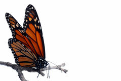 Monarch butterfly on a branch isolated. Isolated Monarch butterfly on a branch with a white background royalty free stock photography