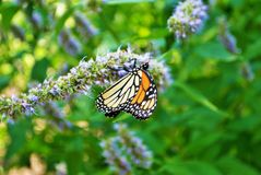 Monarch butterfly with broken wing on a blue Veronica flower. Monarch butterfly with a broken wing on a blue Veronica flower royalty free stock image