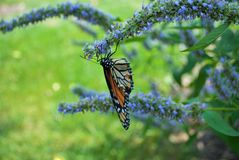 Monarch butterfly with broken wing on a blue Veronica flower. Monarch butterfly with a broken wing on a blue Veronica flower royalty free stock photos