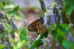 Monarch butterfly with broken wing on a blue Veronica flower. Monarch butterfly with a broken wing on a blue Veronica flower stock images