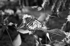 Black and white Monarch butterfly with a broken wing on a blue Veronica flower. Monarch butterfly with a broken wing on a blue Veronica flower royalty free stock photo