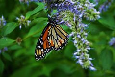 Close upof a Monarch butterfly with a broken wing on a blue Veronica flower. Monarch butterfly with a broken wing on a blue Veronica flower royalty free stock photography