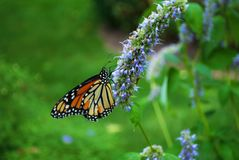 Monarch butterfly with a broken wing on blue Veronica flower. Monarch butterfly with a broken wing on a blue Veronica flower stock photo