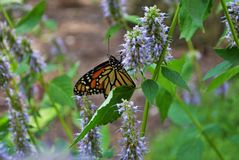 Monarch butterfly with broken wing on a blue Veronica flower. Monarch butterfly with a broken wing on a blue Veronica flower royalty free stock photography