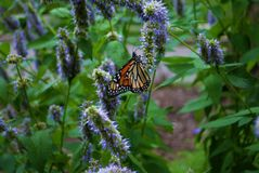 Monarch butterfly with broken wing on a blue Veronica flower. Monarch butterfly with a broken wing on a blue Veronica flower stock photography