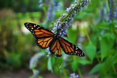 Monarch butterfly with a broken wing and wings spread on a blue Veronica flower. Monarch butterfly with a broken wing on a blue Veronica flower stock photography