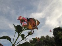Monarch Butterfly. A brown and orange Monarch butterfly stock photo