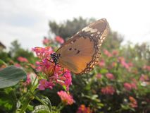 Monarch Butterfly. A brown and orange Monarch butterfly stock photography