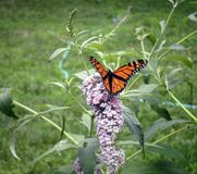 Monarch Butterfly. On Buddleia Davidi Stock Photos