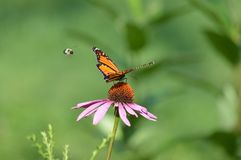 Monarch butterfly. And a bumblebee pollinating a purple cone flower stock photography