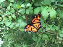 Monarch. Butterfly on bush Royalty Free Stock Photo