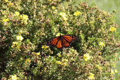 Monarch butterfly. On bush with yellow flowers stock photos