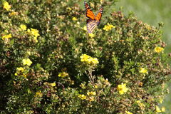 Monarch butterfly. On bush with yellow flowers royalty free stock image