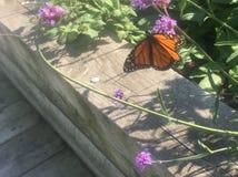 Monarch butterfly. Monarch butterflies on a flour stock photo