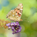 Monarch butterfly on butterfly bush Royalty Free Stock Photo